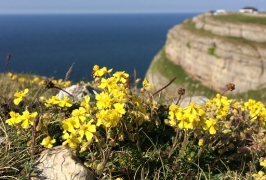 Restoring limestone grassland (Great Orme, north Wales)