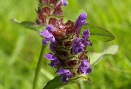 Selfheal © Andrew Gagg/Plantlife