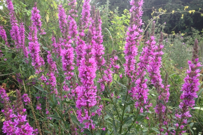 Wildflowers and plants for a wet or damp part of the garden the purple loosestrife a must have for the wildflower garden mightylinksfo