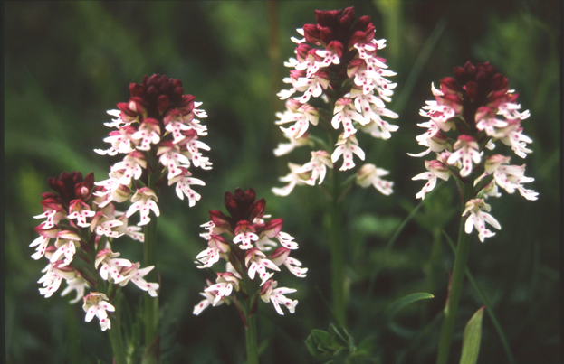 Wiltshire's County Flower - the Burnt-tip orchid - has become extinct in 27 vice-counties. © Joe Sutton/Plantlife