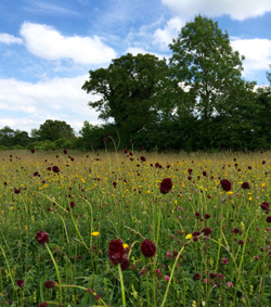 Clattinger Farm in Wiltshire is one of the meadows hosting an event this Saturday.