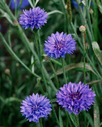 More than half of all UK species, such as the cornflower, are declining in the long term. Image © Laurie Campbell.