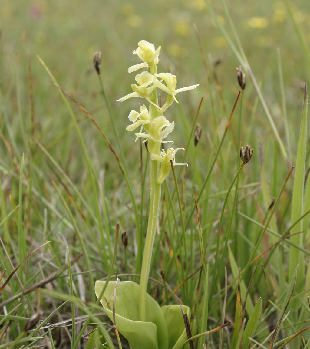 Fen orchid © first-nature.com.