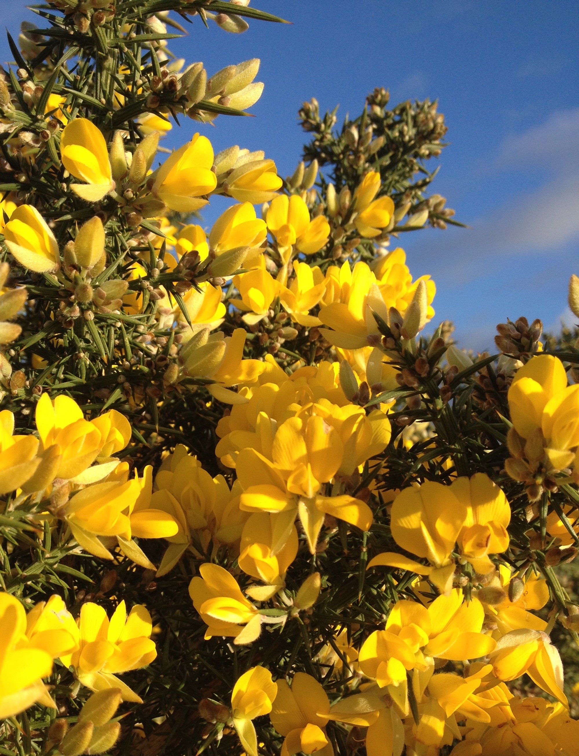 Gorse, snapped blooming just the other day. © Dr Trevor Dines