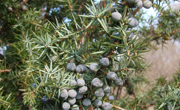 Juniper berries © Tim Wilkins/Plantlife