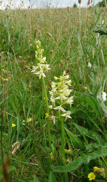 Lesser butterfly orchid © Plantlife