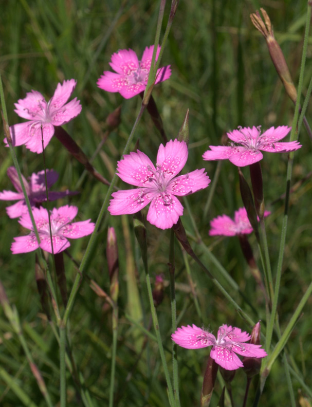 Maiden pink, one of many wildflowers who's fortunes the project hopes to improve ©Andrew Gagg/Plantlife