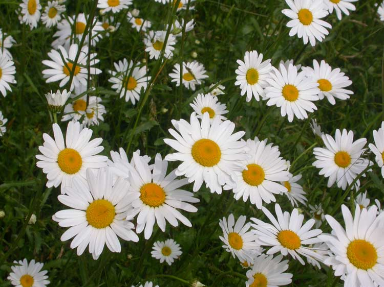 Oxeye daisies © Ray Woods/Plantlife