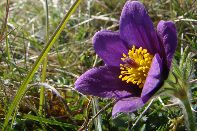 Pasqueflower © Katherine Ryan