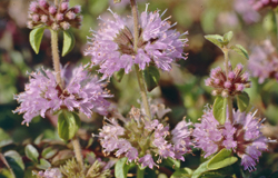 Pennyroyal mint © Andrew Gagg/Plantlife