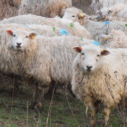 The Ranscombe Farm sheep.  © RIchard Moyse/Plantlife