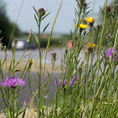 Plantlife's campaign to protect wildflowers and nature on roadside verges