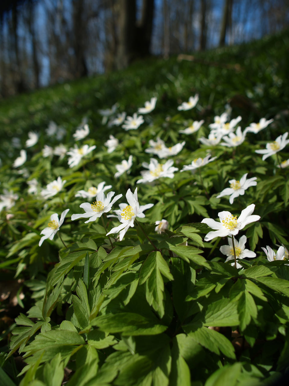 Wood anemone © Andrew Gagg/Plantlife