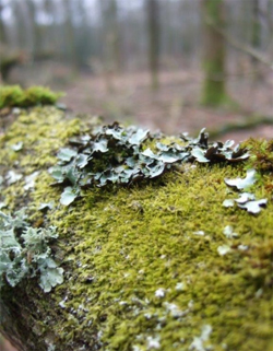 Lichen growing in woodland. © Beth Halski