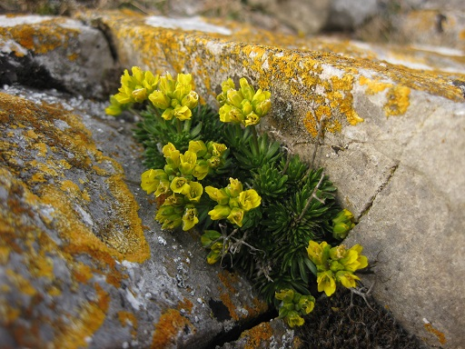 Yellow whitlowgrass on the Gower coast now has a more secure future thanks to Biffa Award funding